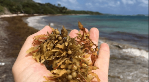 саргассум водоросли